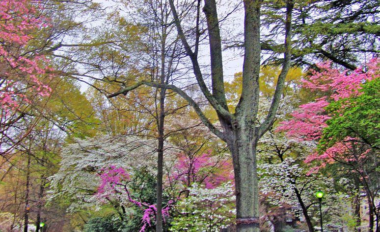 Charlotte Myers Park dogwood