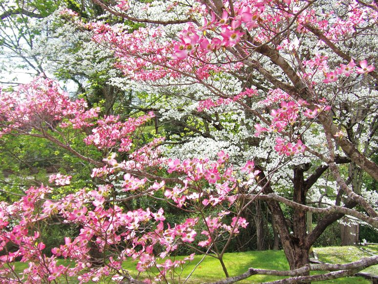 Pink and White Dogwood