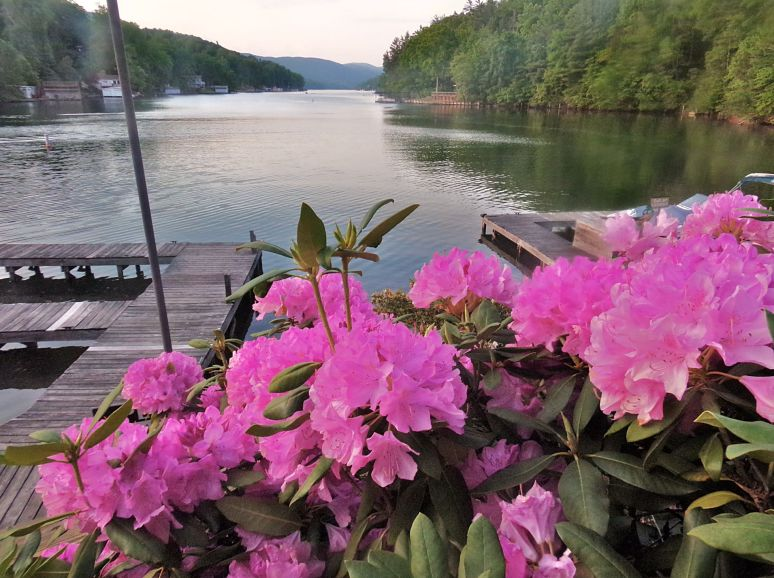 Lake Lure Catawba Rhododendron
