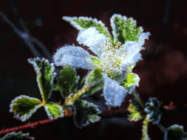 Blackberry Blossom Frost
