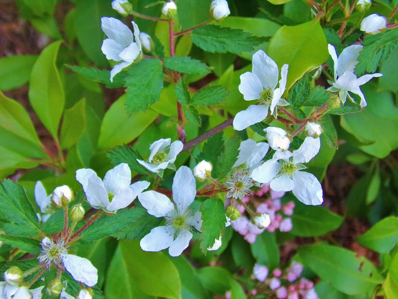 Blackberry Blossoms