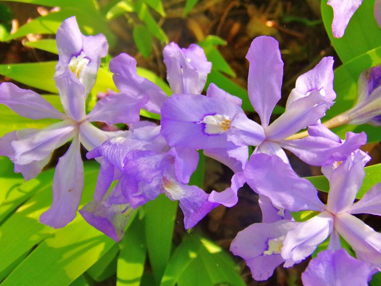 Wild Iris Blossoms