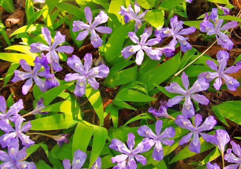 Wild Iris Patch