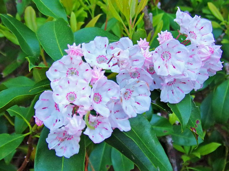 First Mountain Laurel