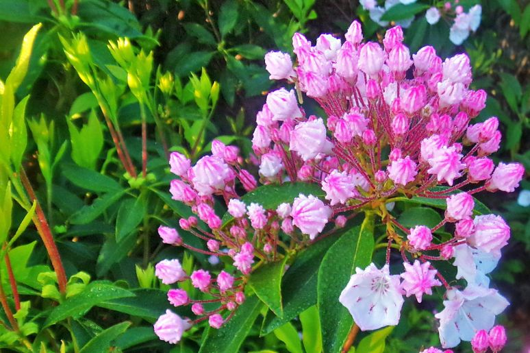Mountain Laurel Buds