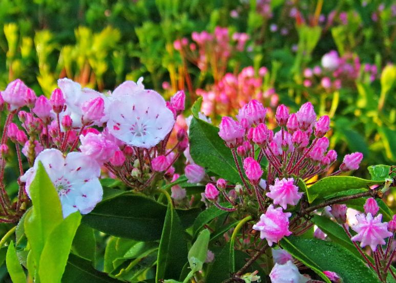Mountain Laurel Thicket