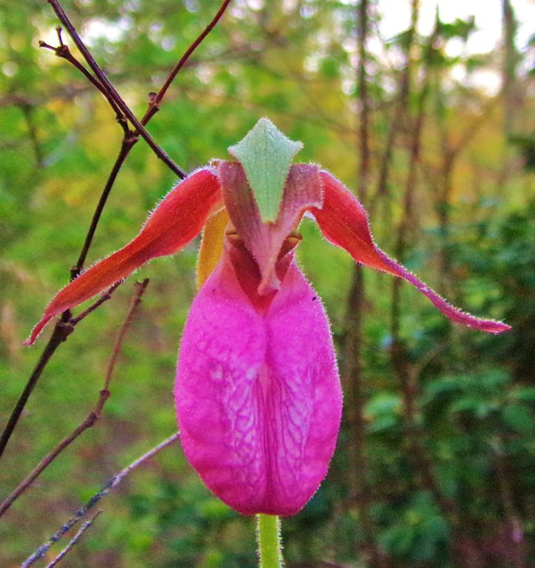 Pink Lady's Slipper Face