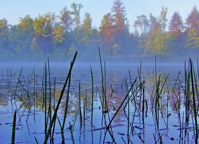 Misty Pond Reeds