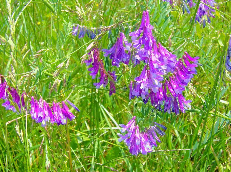 Purple Field Flower detail