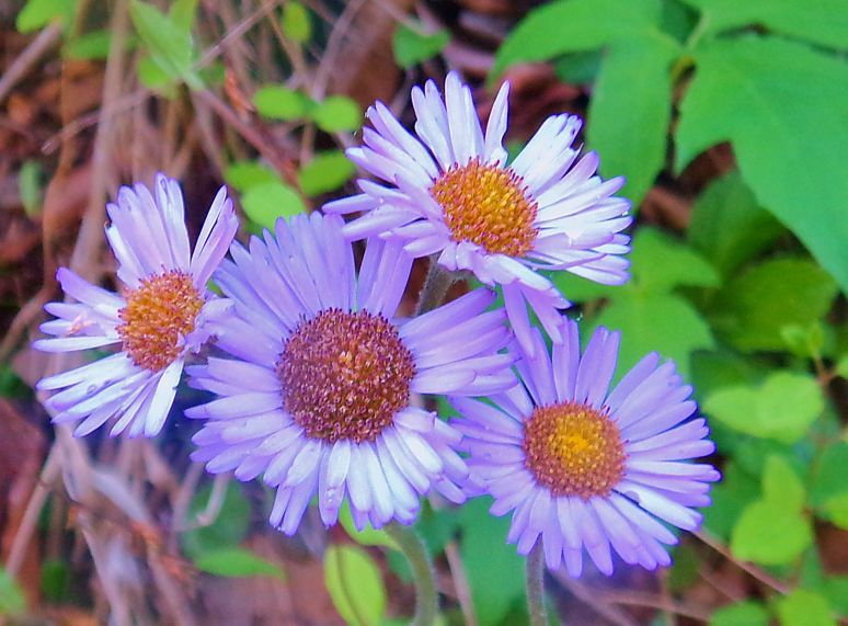 Wild Aster Blossoms
