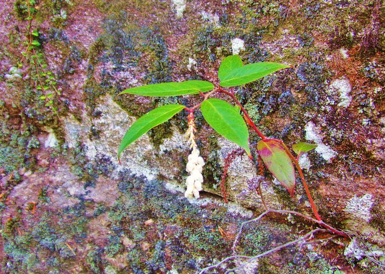 Carolina Allspice seedling