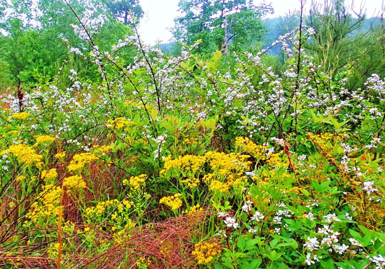 Blackberries and Yellow Wildflowers
