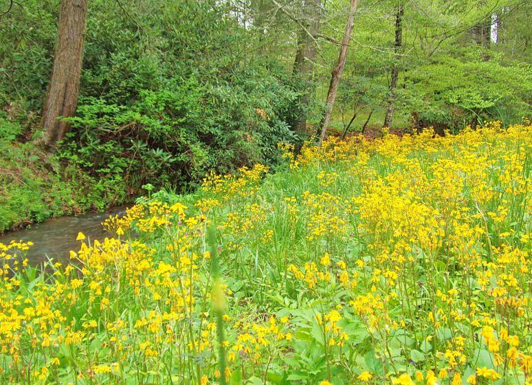Otter Creek Yellow Meadow
