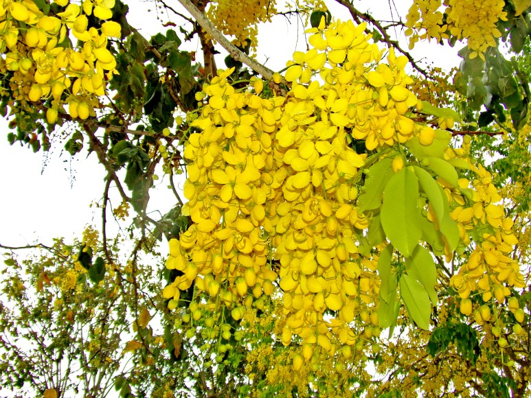 Golden Showers in Full Bloom