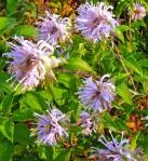 Lavender Wildflowers