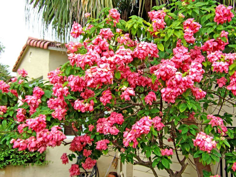 Mussaenda Shrub in Miami