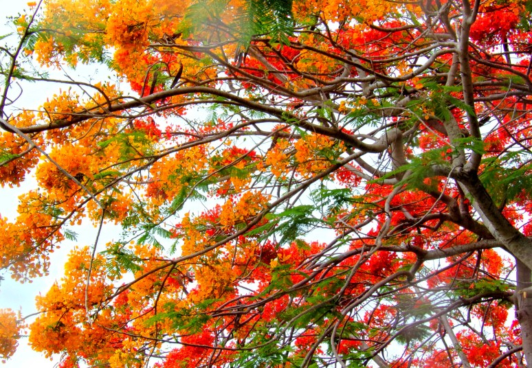 Royal Poinciana Canopy