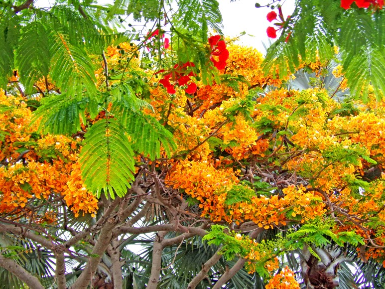 Orange Royal Poinciana