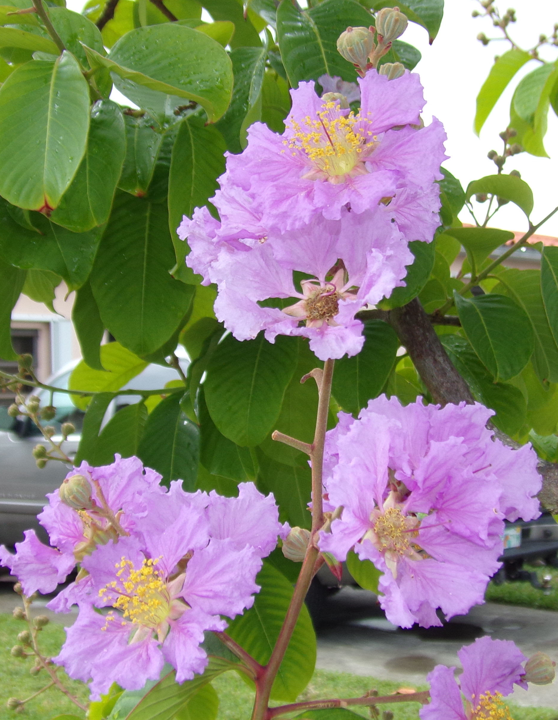 Miamis flowering trees of june living in the blue ridge mountains miamis flowering trees of june living in the blue ridge mountains of north carolina a blog izmirmasajfo