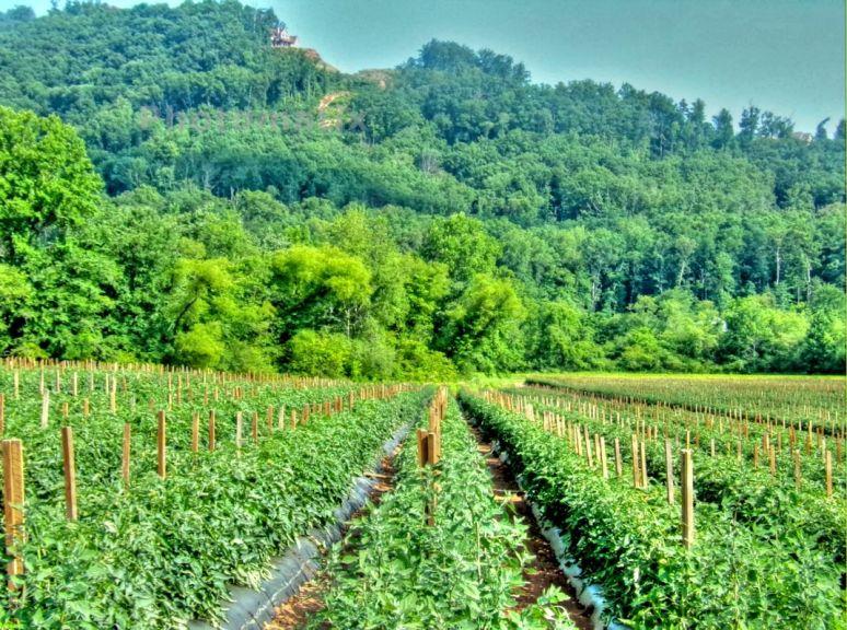 Bill's Creek Tomato Field