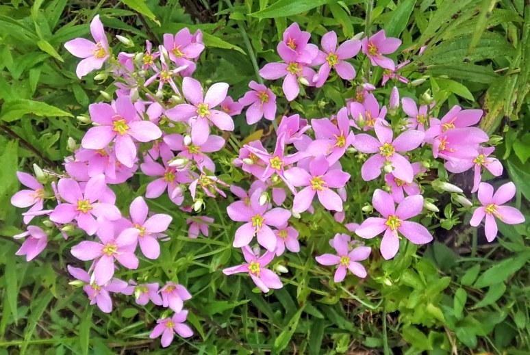 Rose Pinks beside Otter Pond