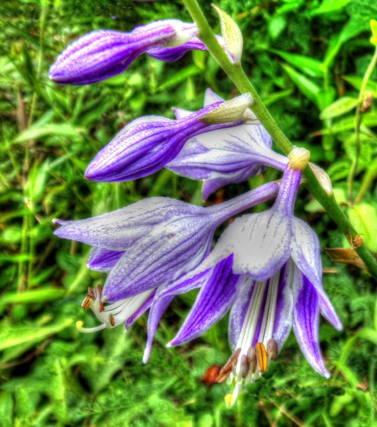 Hastas in Bloom