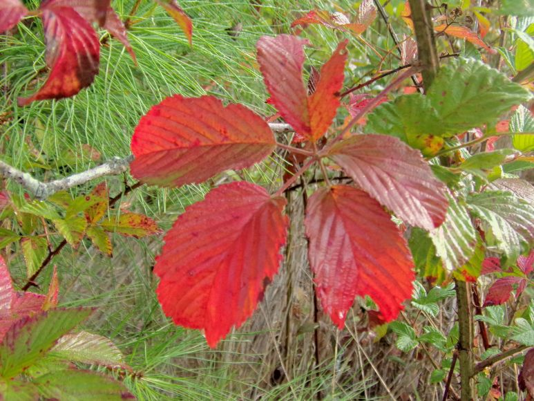 Waxy Red Leaves