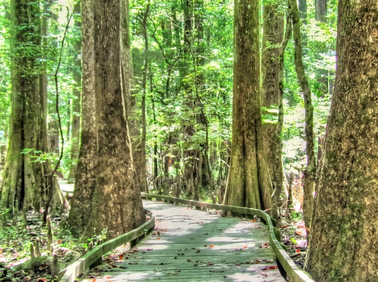 Congaree Boardwalk Giants