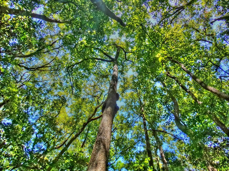 Congaree Canopy Giants