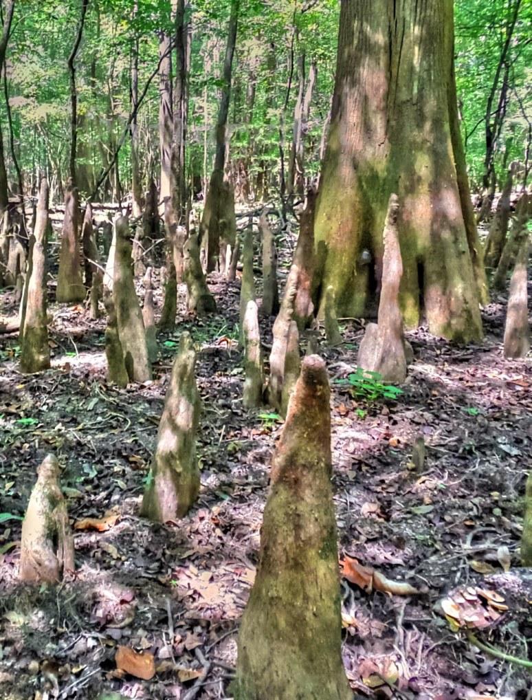 Congaree Cypress Knees