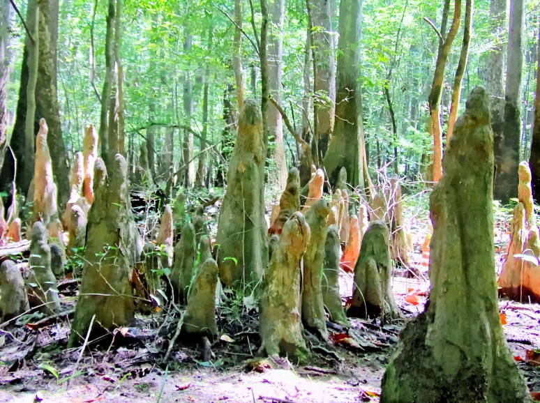 Congaree Cypress Knees Growing
