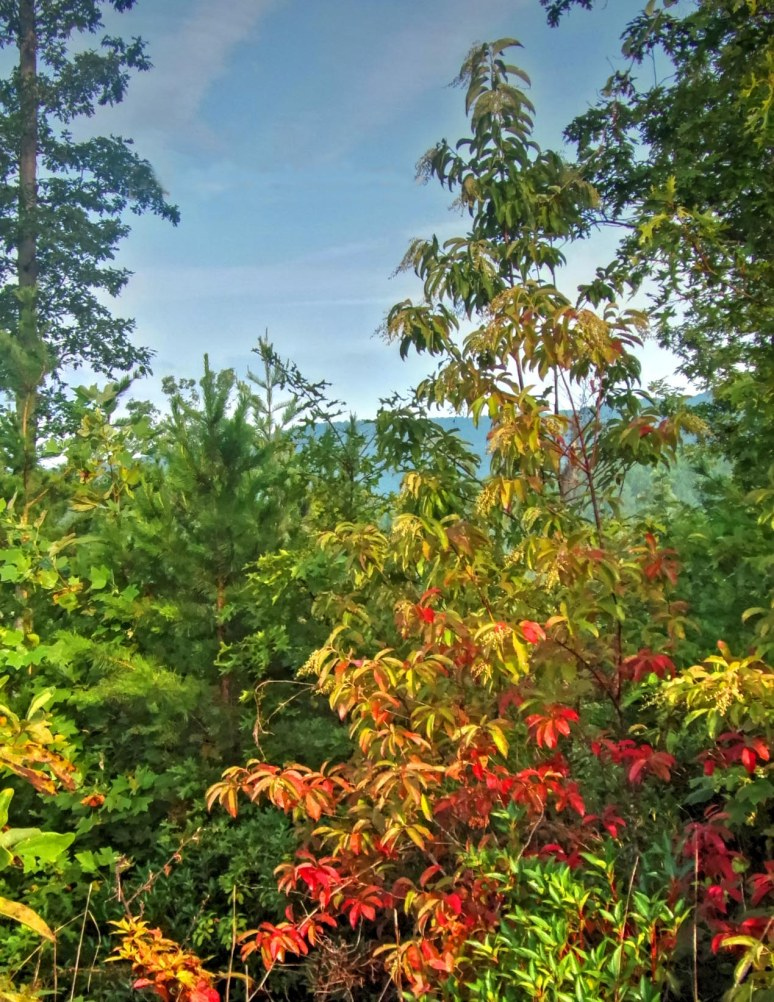 Dogwoods of Summer