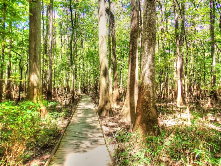 Congaree Walkway Giants
