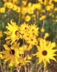 Narrow Leaf Sunflower Blosoms