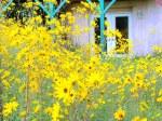 Narrow leaf Sunflower French Doors