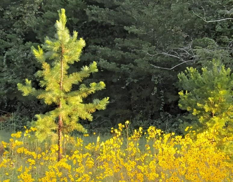 Narrow Leaf Sunflower Short Leaf Pine