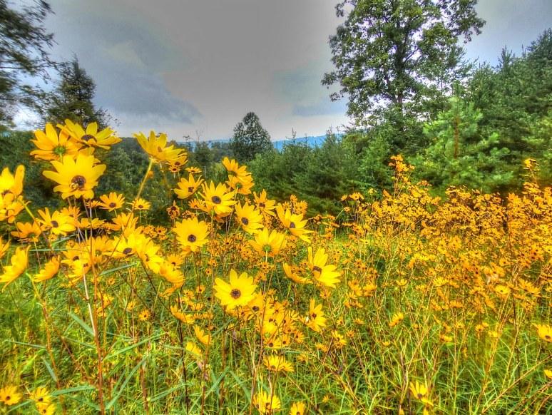 Narrow Leaf Sunflower Mountains