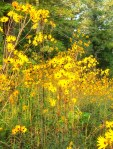 Narrow Leaf Sunflower Profusion