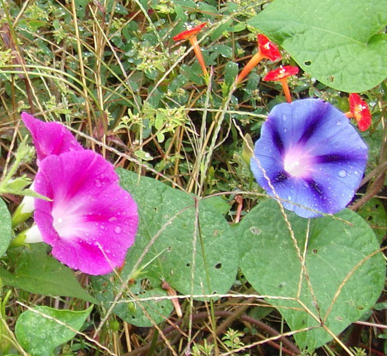 Pink and Blue Morning Glories