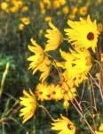 Narrow leaf Sunflower Faces
