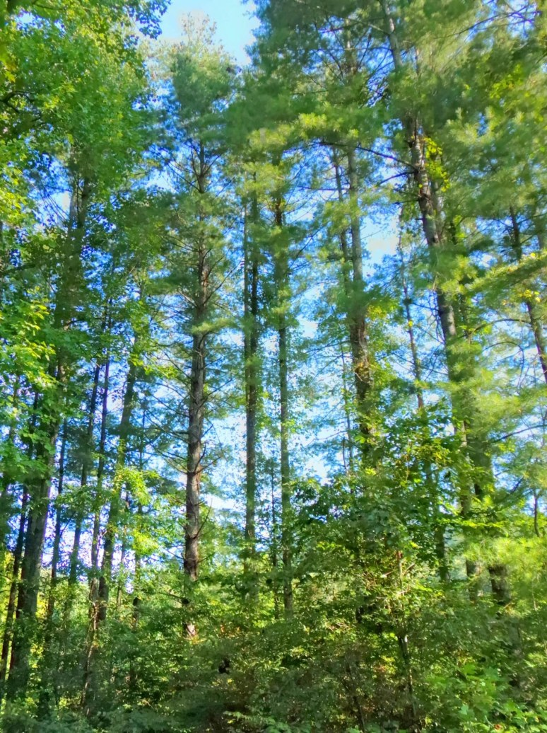 Tall White Pines