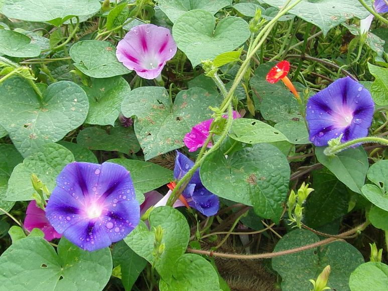Pink and Purple Morning Glories