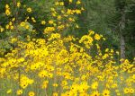 Narrow Leaf Sunflower Yellow