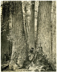 American Chestnut giants