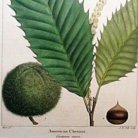 american-chestnut botanical