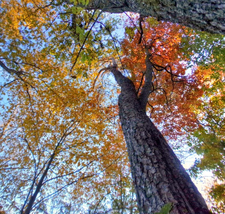 Beech and Hickory and Pine