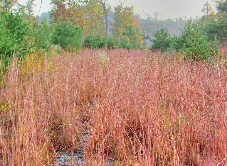 Broomsedge Grass of Fall