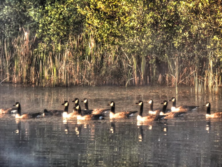 Canadian Geese on Otter Pond
