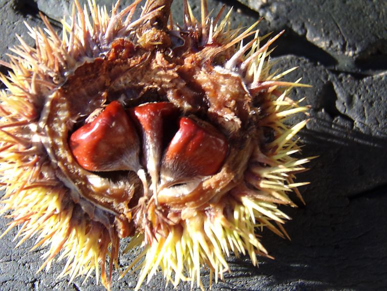 American Chestnut pod nuts