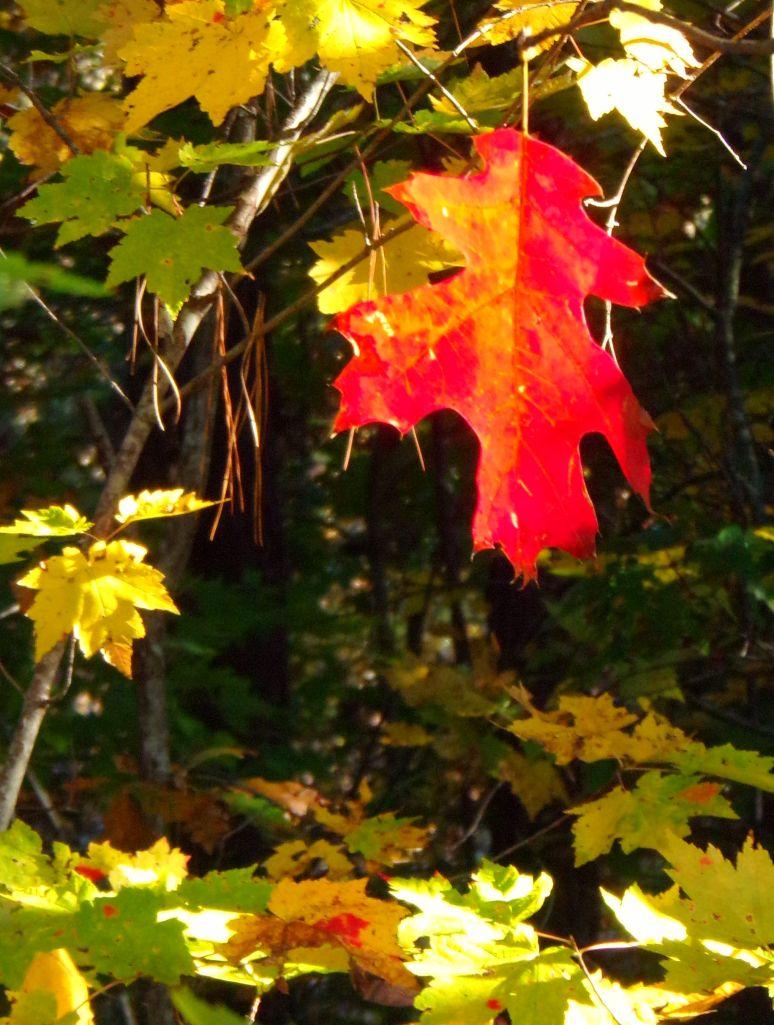 Scarlet Oak in Fall